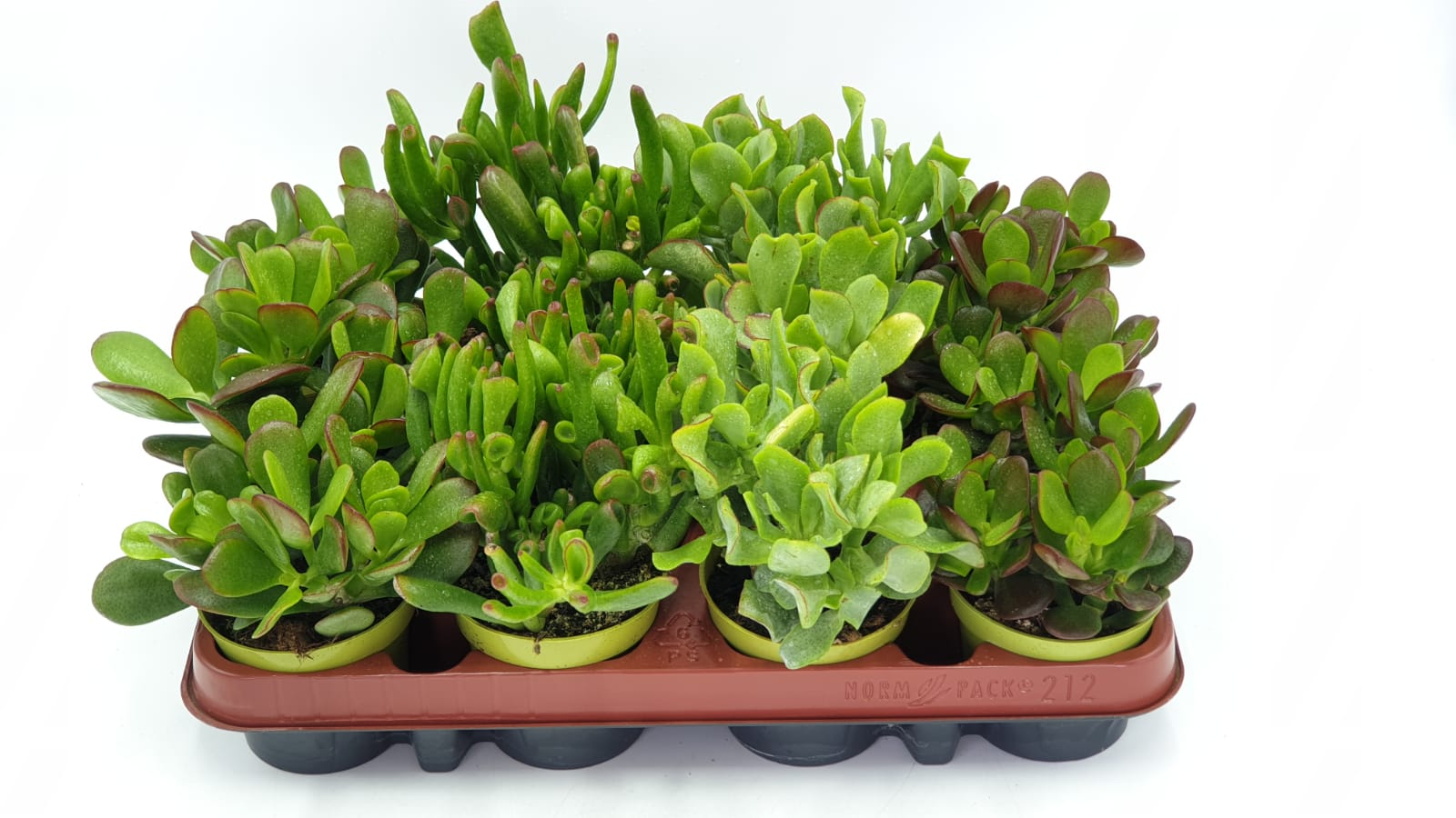 Crassula mix