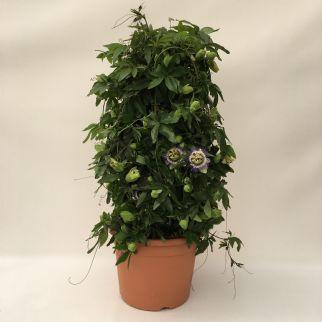 Passiflora Blue 26